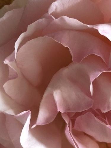 roses Corey Amaro