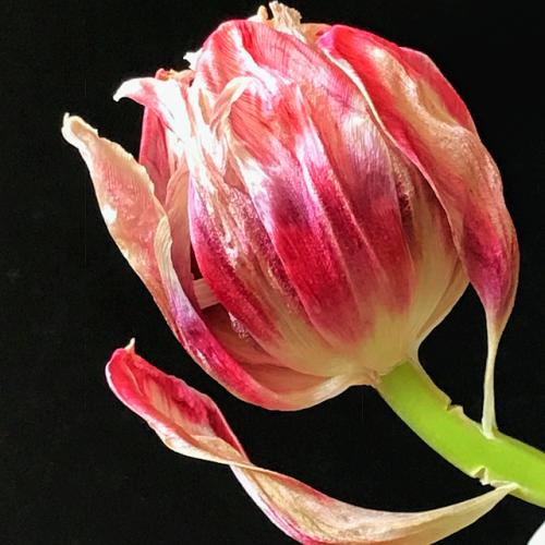 Tulip french la vie corey amaro