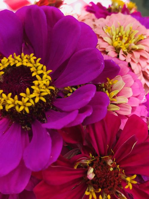 zinnias happy colorful wonders