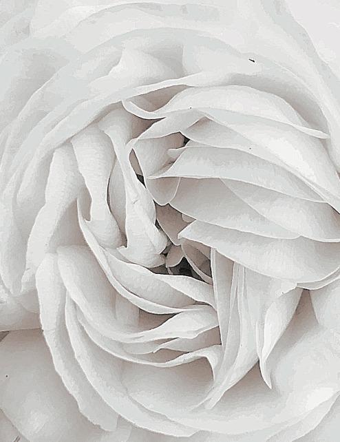 slowly opening rose