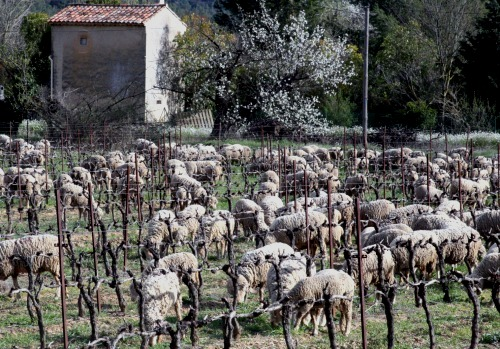 Sheep-in-the-vineyard